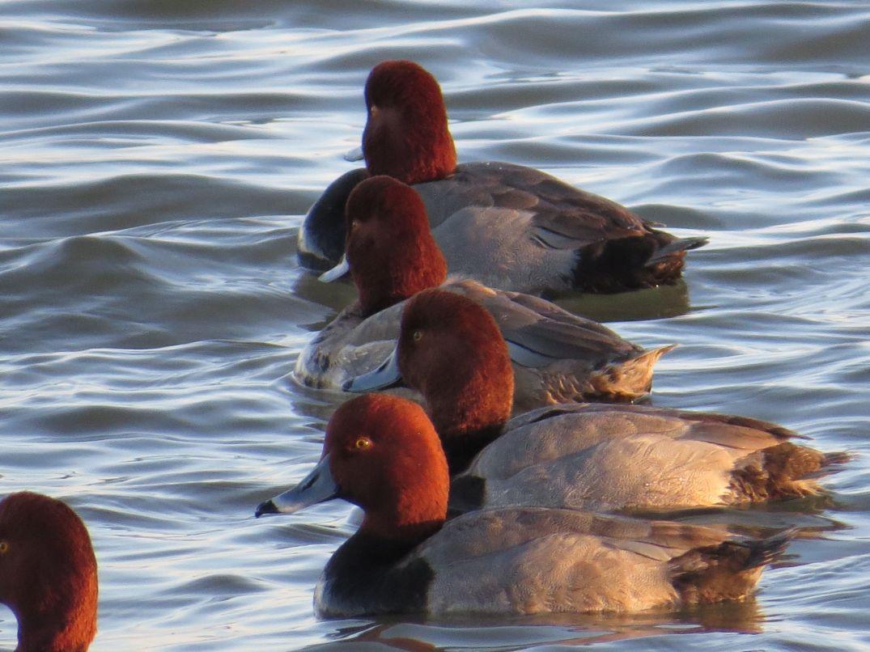 Redhead ducks